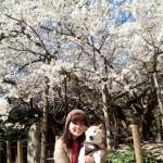 乳母桜 2016_3_21_1