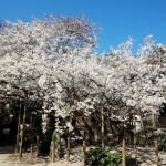 乳母桜 2016_3_21_9