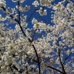 乳母桜 2016_3_21_5